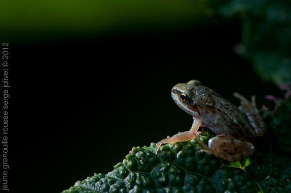 jeune grenouille rousse par serge jolivel photographe animalier en bretagne