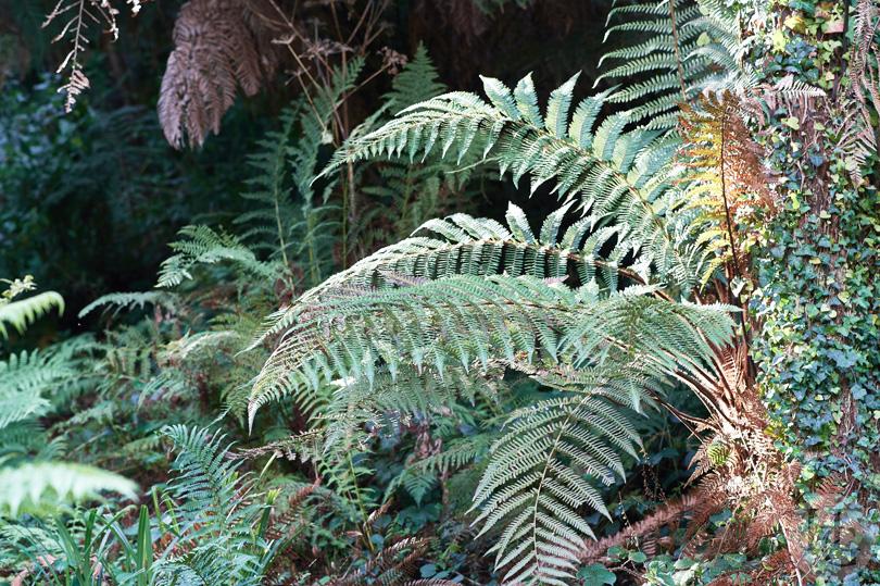 Fougères du jardin botanique du Stangalard Brest test Nikon D500